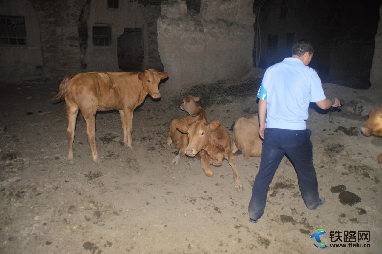 图3:黄陵站民警为群众寻找走失的牛群.jpg